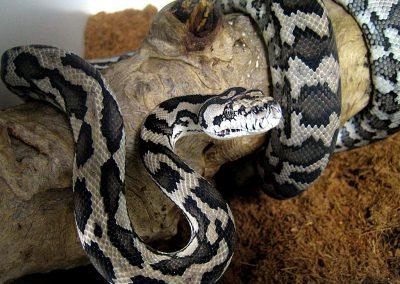 Australian Pythons