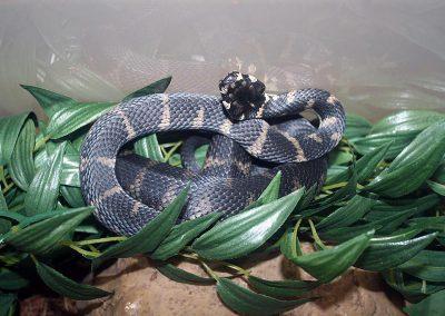 Stephen's Banded Snake